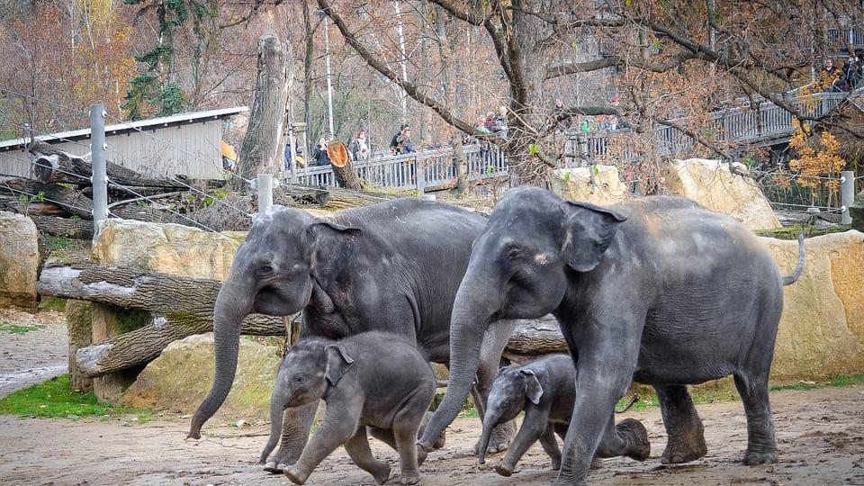 Slonice Tamara a Janita se svými slůňaty ve výběhu,  foto: Jana Myslivečková,  Zoo Praha